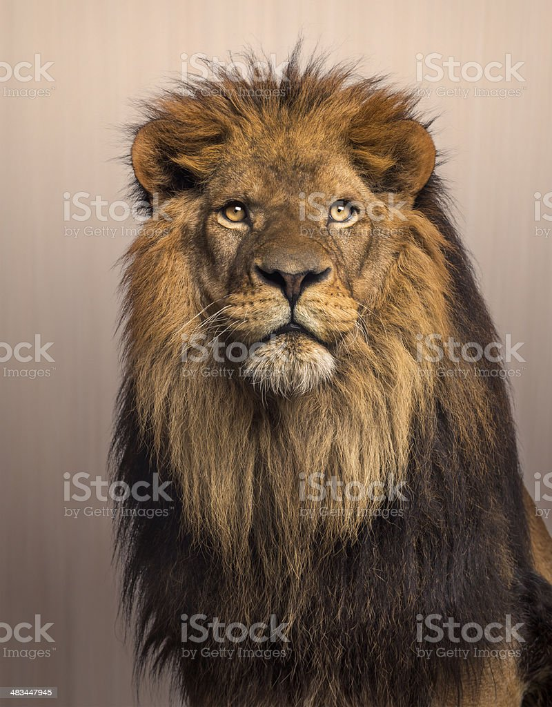 Lion looking up, Panthera Leo on brown background stock photo