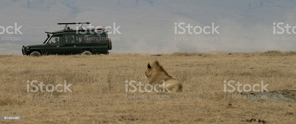 Lion looks at tourists royalty-free stock photo