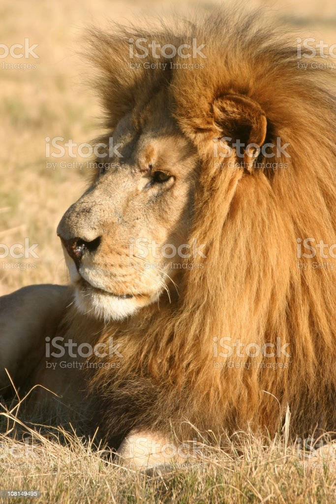 Lion Lounging in Grass royalty-free stock photo