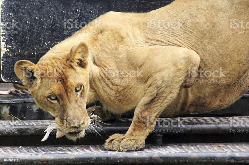lion lunch royalty-free stock photo