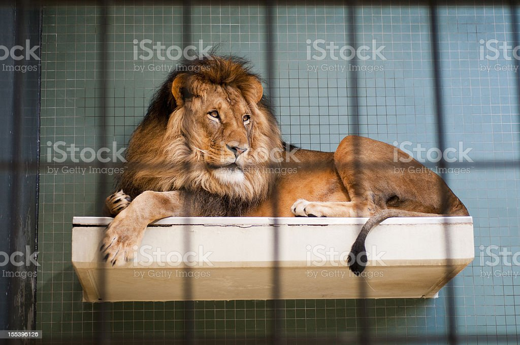 Lion lying behind bars at the Berlin city zoo stock photo