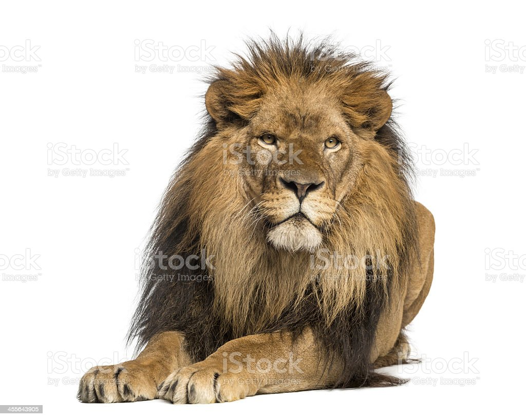Lion lying down, facing, Panthera Leo, 10 years old, isolated royalty-free stock photo