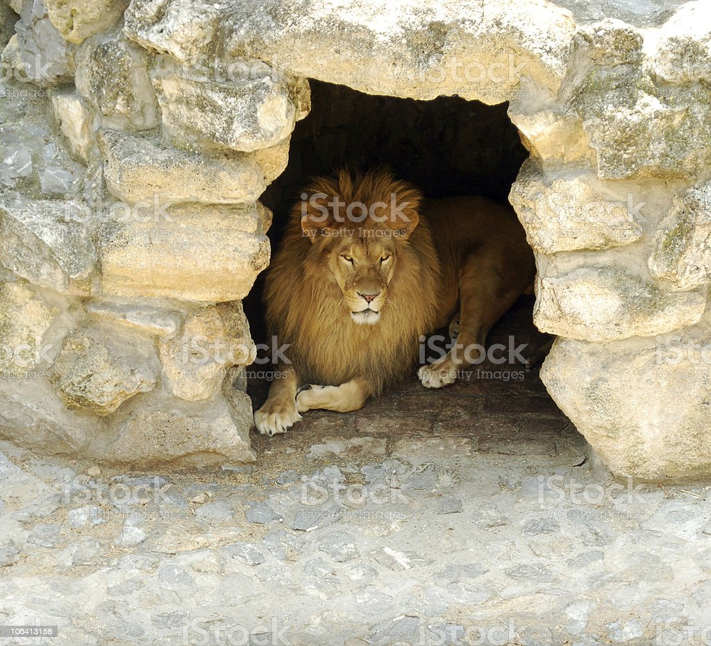 lion lying in the cave stock photo