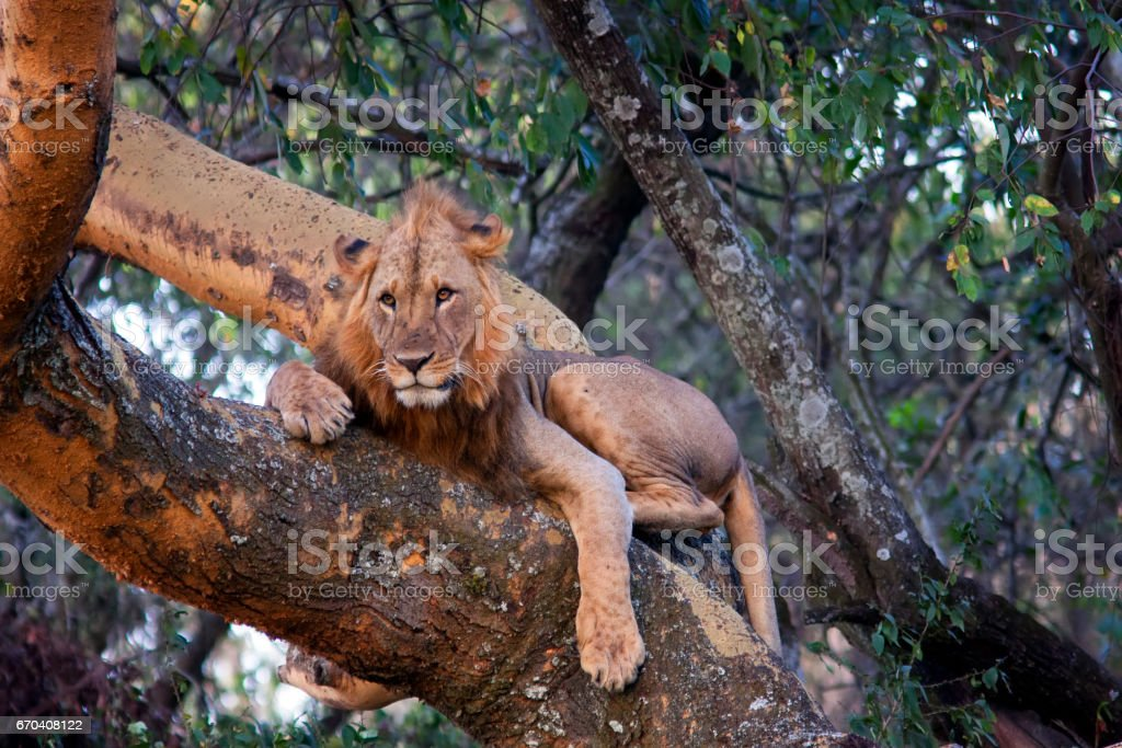 lion lying on a tree and hunting down a victim stock photo