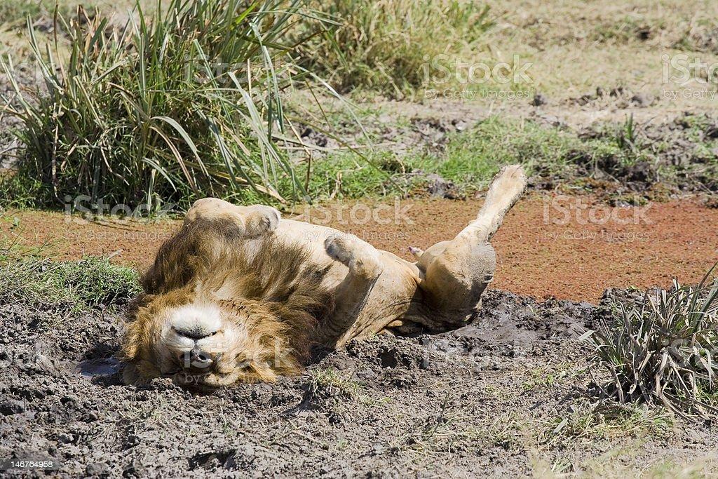 lion Allongé sur le dos dans la boue photo libre de droits