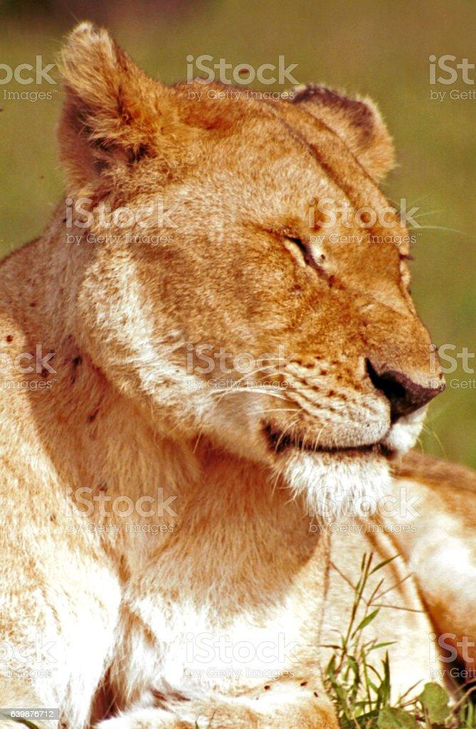 Lion, Maasai Mara Game Reserve, Kenya stock photo