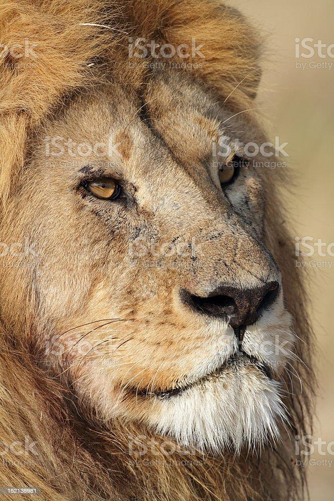 Lion male close-up, Serengeti royalty-free stock photo