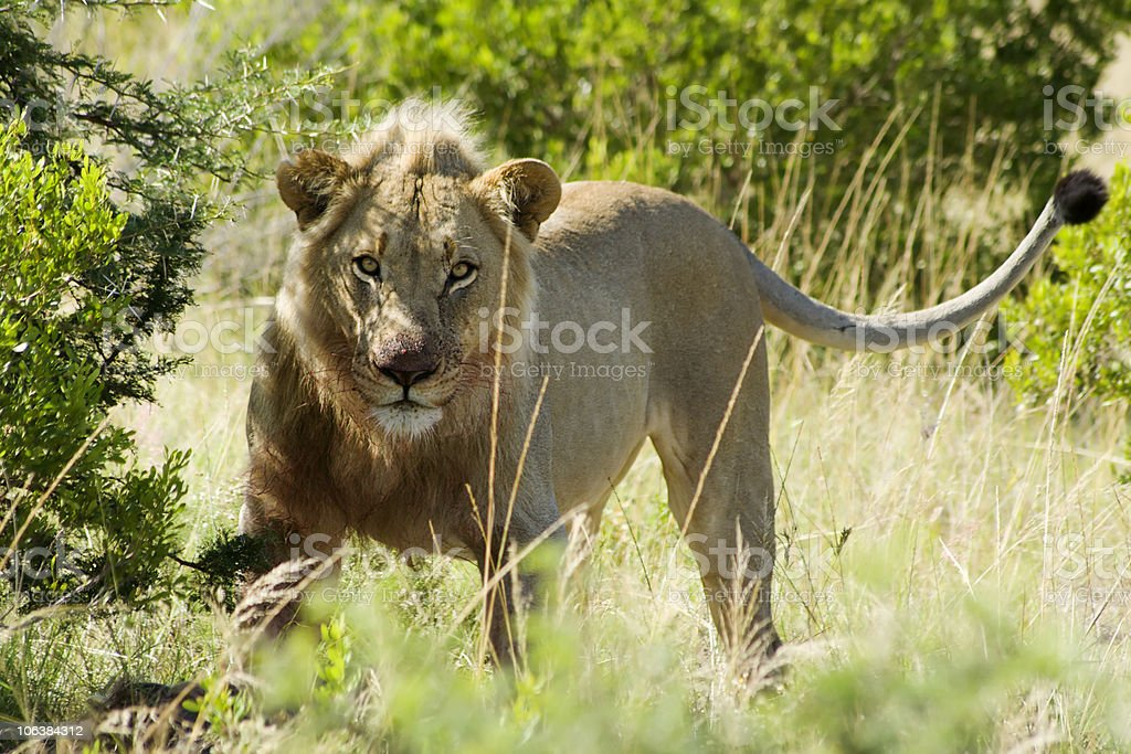 Lion male royalty-free stock photo