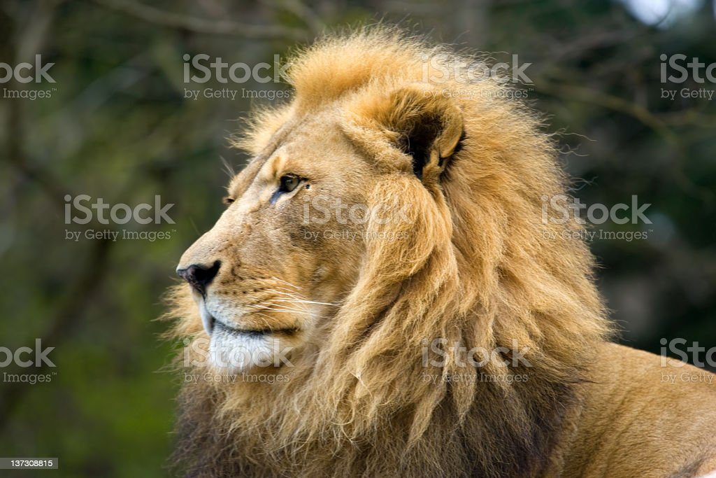 Lion - Male royalty-free stock photo