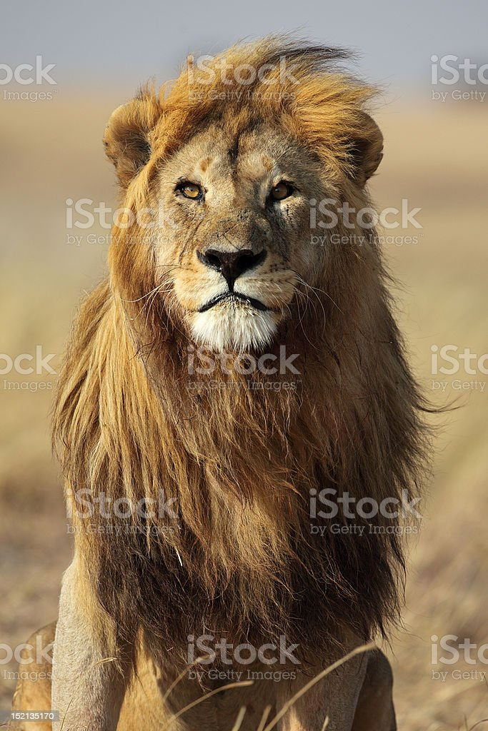 Lion male with large golden mane stock photo