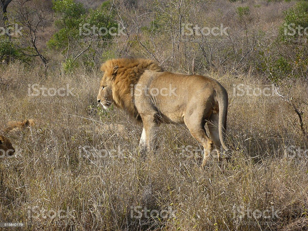 lion meets cubs royalty-free stock photo