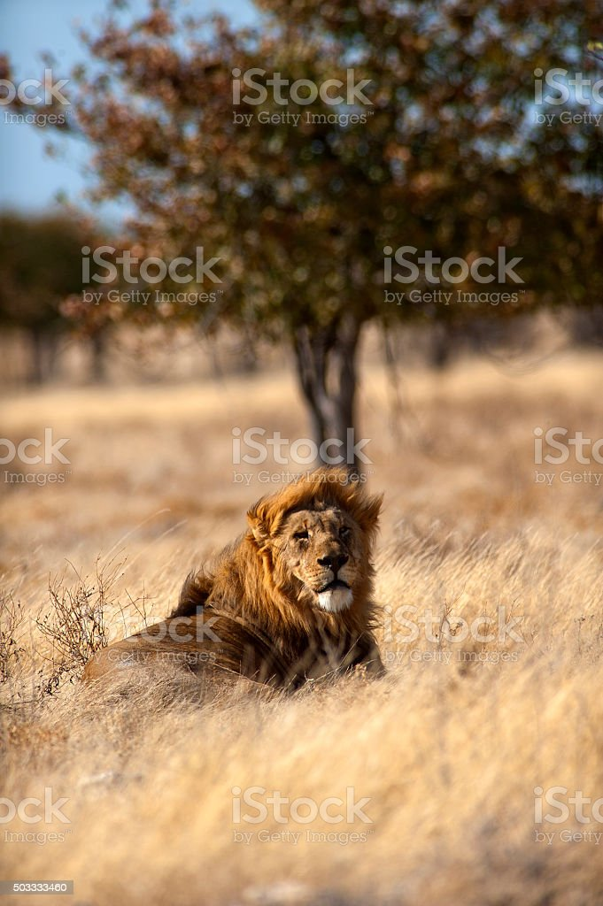 Lion near Springbokvlakte waterhole, Etosha National Park, Namib stock photo