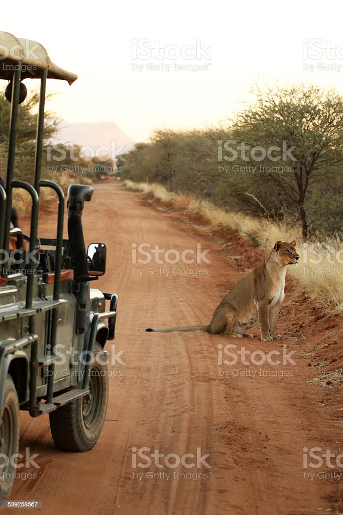 Lion next to Safari Jeep on the road Namibia Africa stock photo