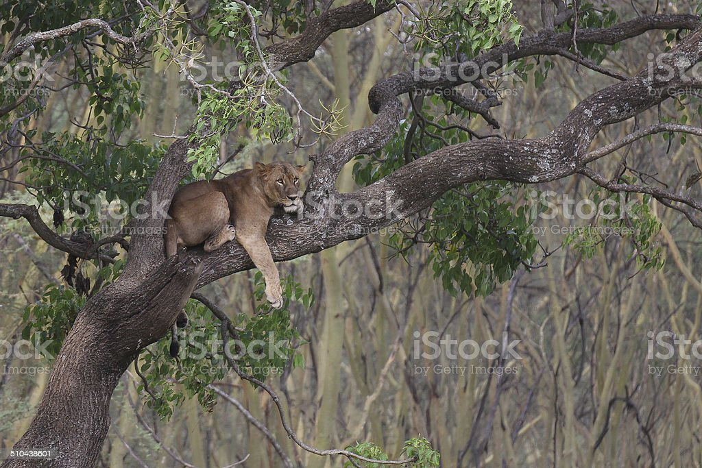 Lion on a tree royalty-free stock photo