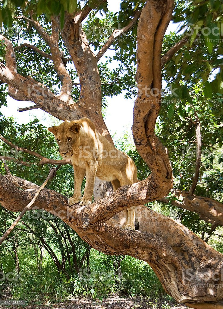 lion on a tree stock photo