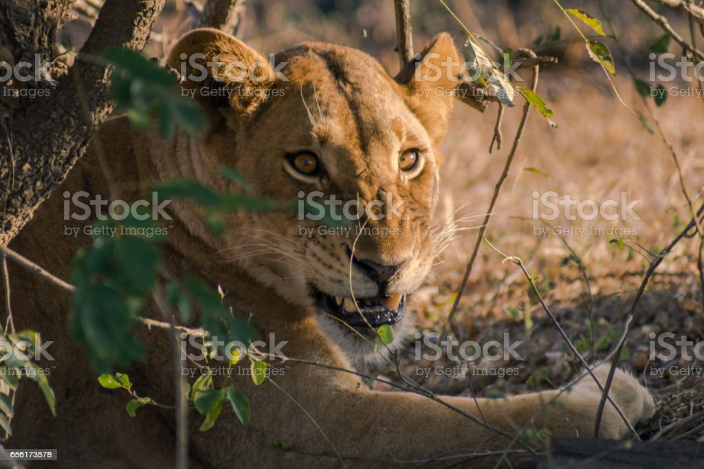 A lion on the hunt between the high grass stock photo