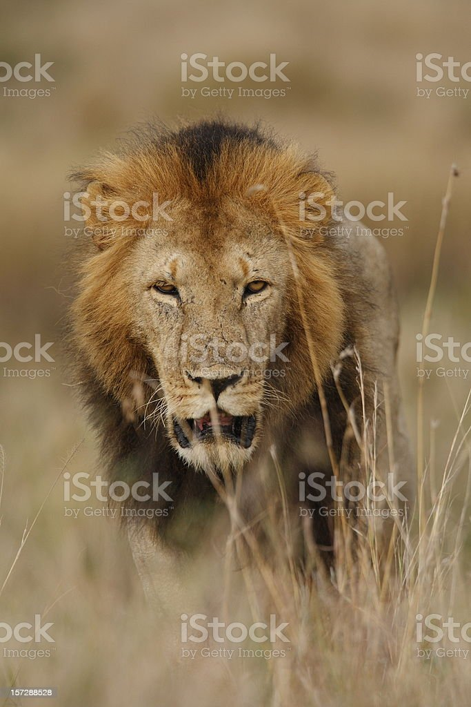 Lion on the prowl royalty-free stock photo
