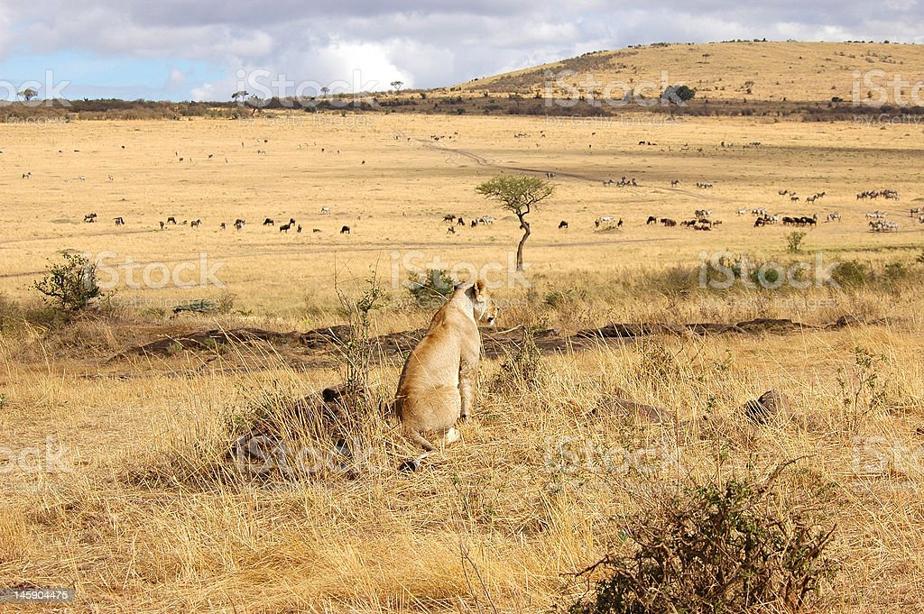 Lion Overviewing Masai Mara stock photo