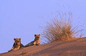 Lion pair on top of a kalahari sand dune