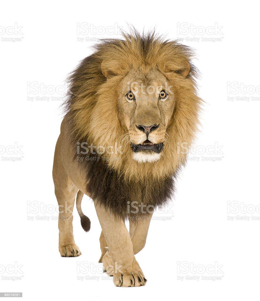 Lion- Panthera leo royalty-free stock photo