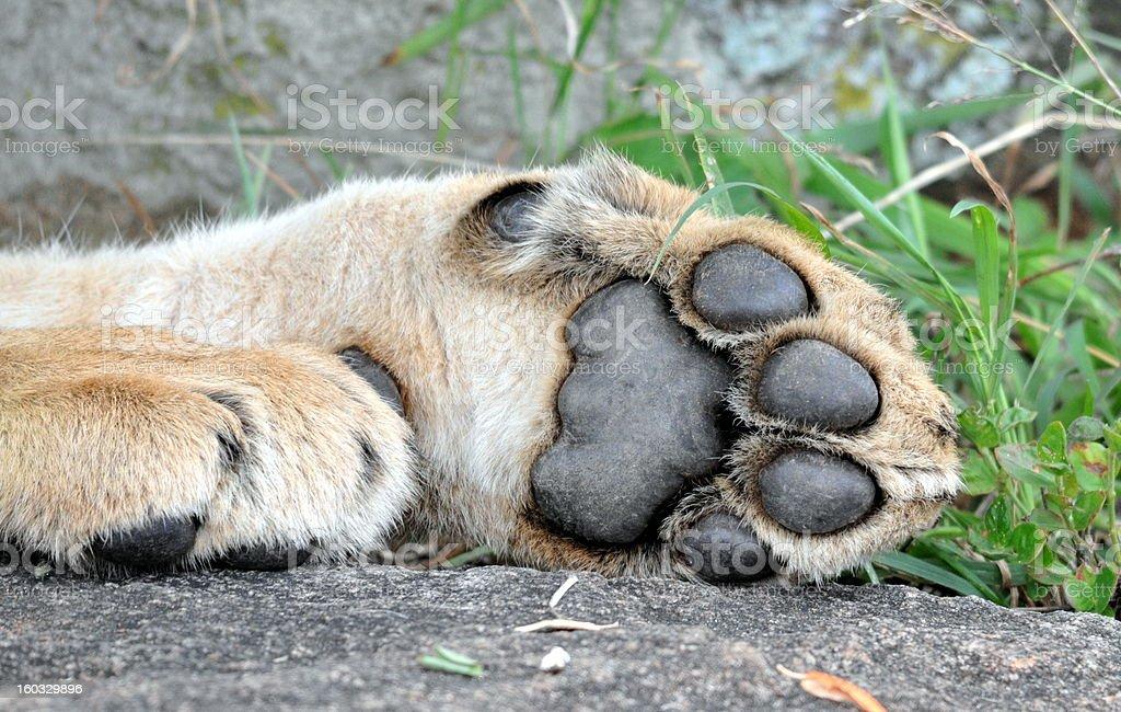 Lion Paw royalty-free stock photo