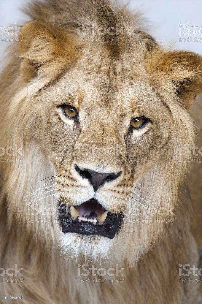 lion - (Panthera leo) royalty-free stock photo