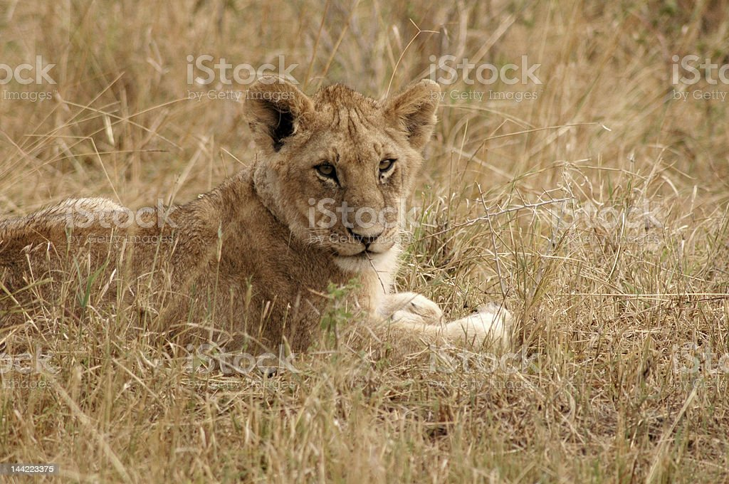 Leão foto de stock royalty-free