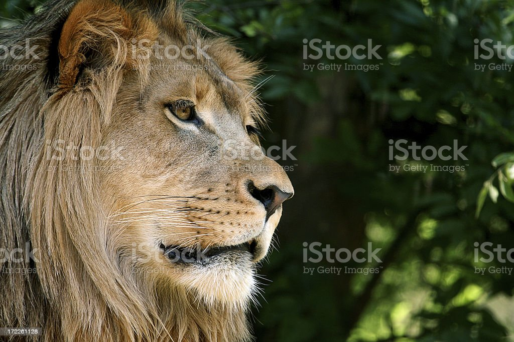 lion royalty-free stock photo