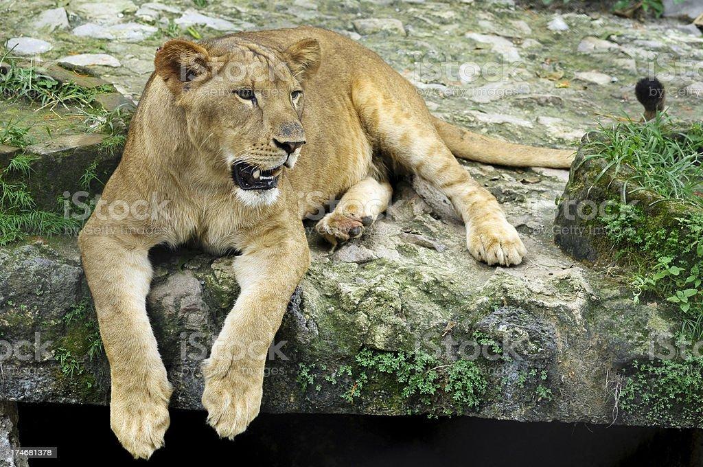 Lion royalty-free stock photo