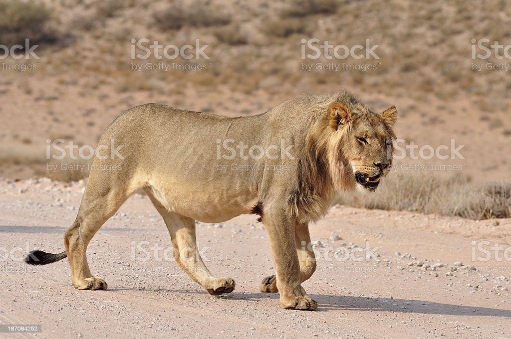Lion (Panthera leo) royalty-free stock photo