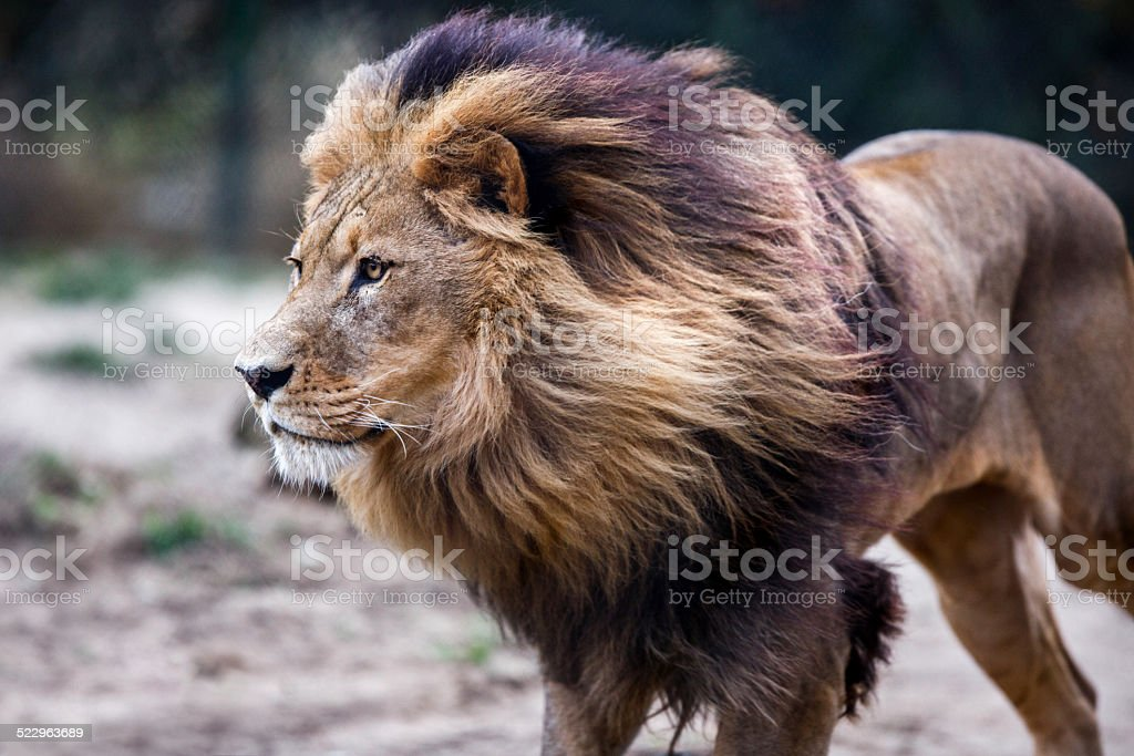 Lion. stock photo