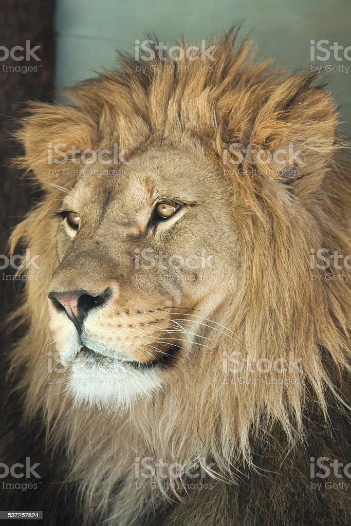 Lion (Panthera leo). stock photo