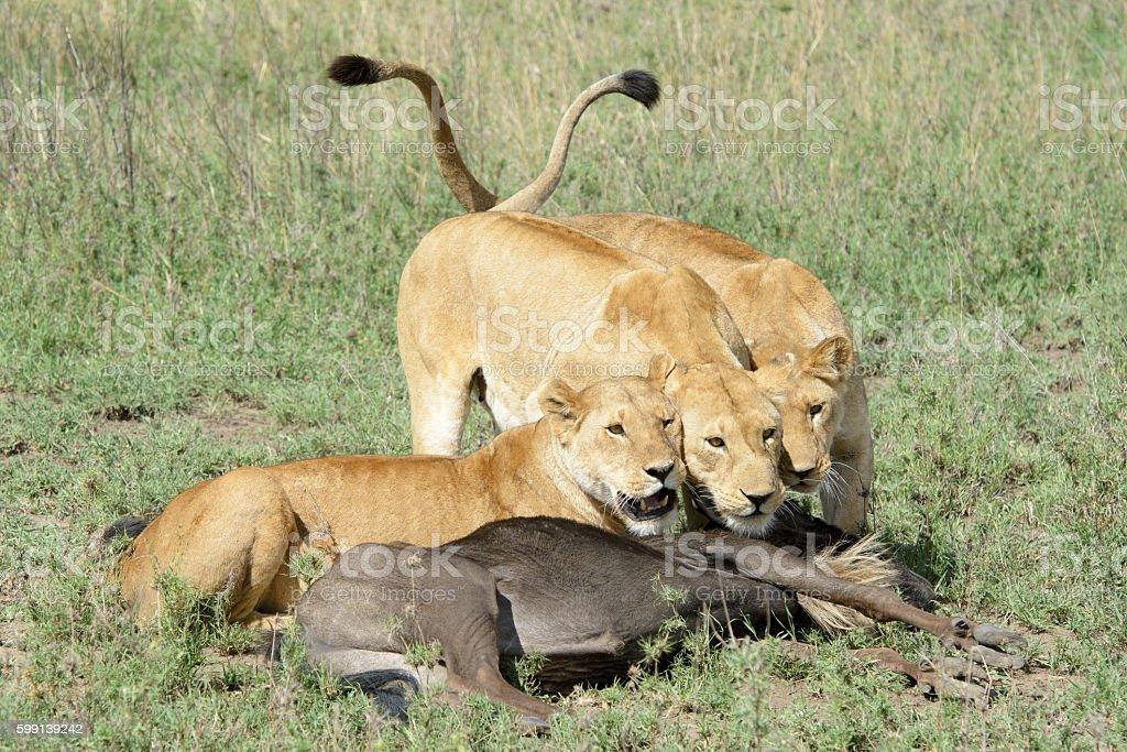 Lion (Panthera leo) stock photo