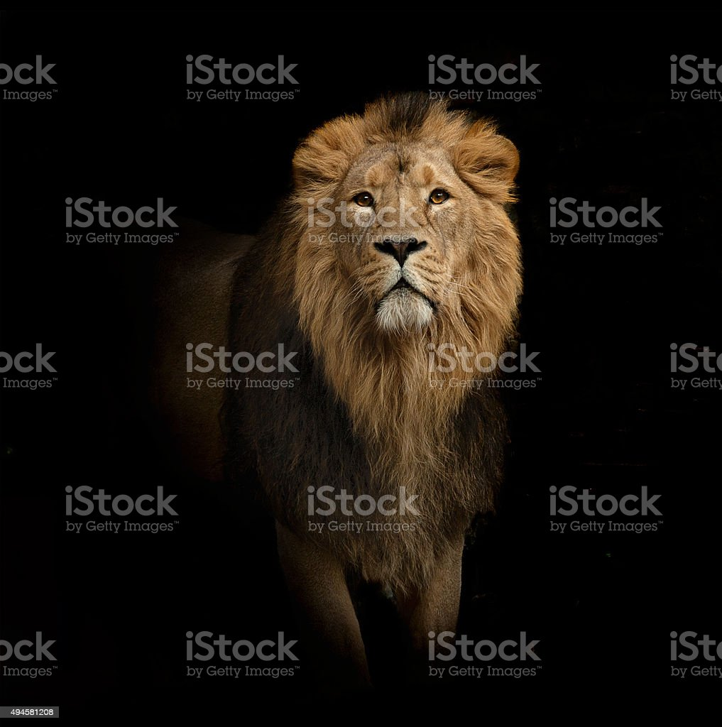 lion portrait on black stock photo