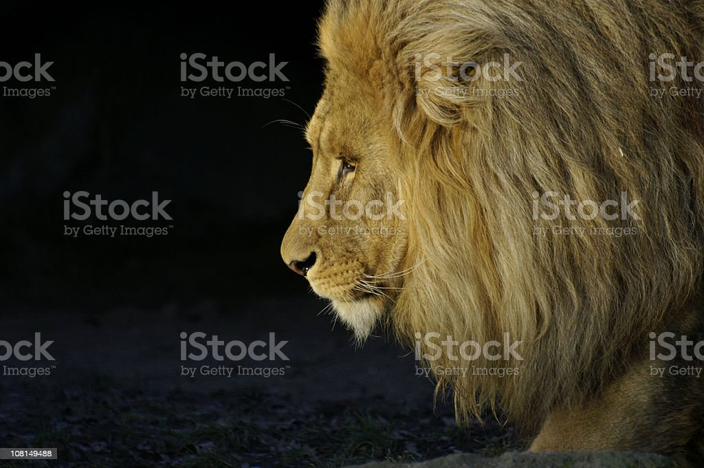 Lion portrait stock photo