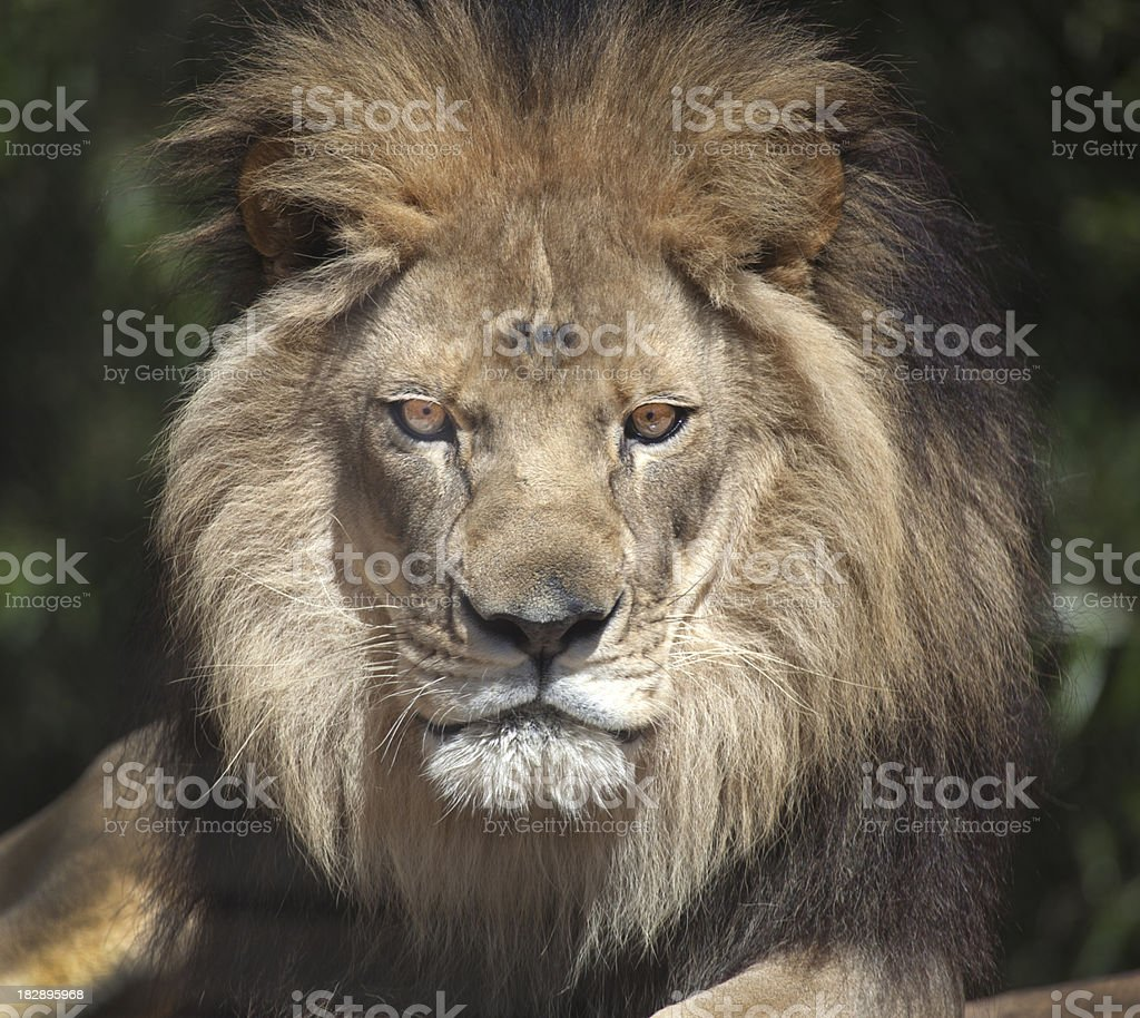 Lion Portrait royalty-free stock photo
