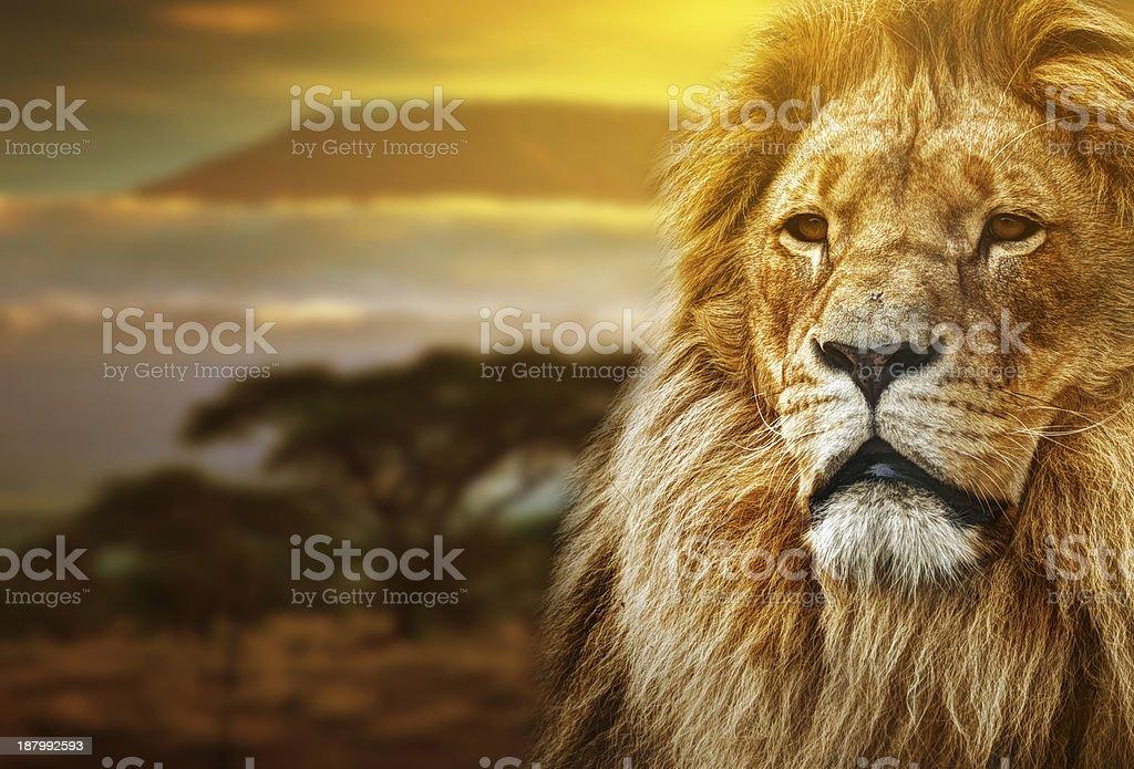 Lion portrait with rich mane on Kilimanjaro background stock photo
