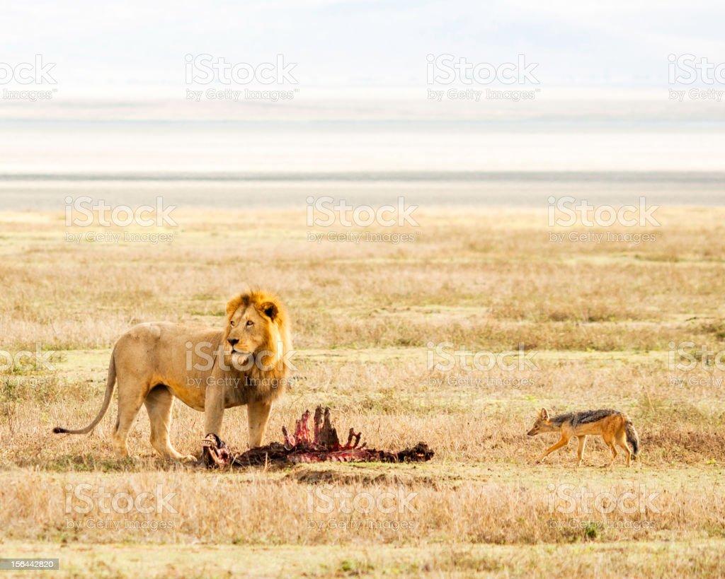 Lion & Prey in the Serengeti stock photo