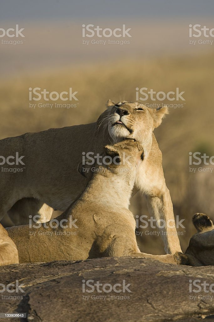 Lion fierté Masai Mara, Kenya photo libre de droits
