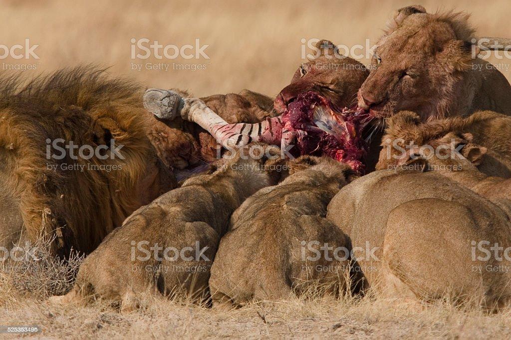Lion Pride on a zebra kill stock photo