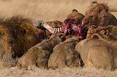 Lion Pride on a zebra kill