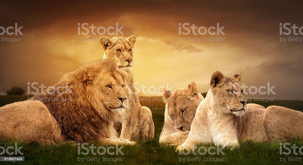 Lion pride stock photo
