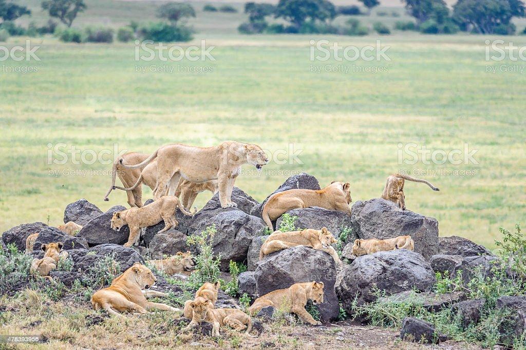 Lion Pride Settling In stock photo