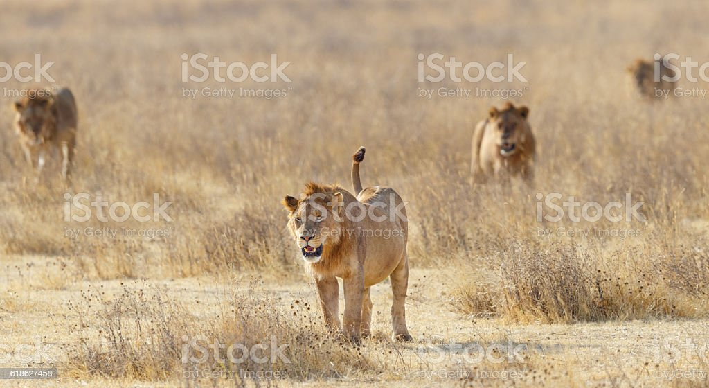 Lion Pride Stalking Across Ngorongoro, Tanzania Africa stock photo