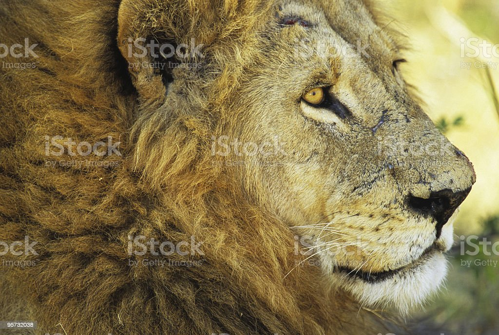 Lion profile, Moremi National Park, Botswana royalty-free stock photo