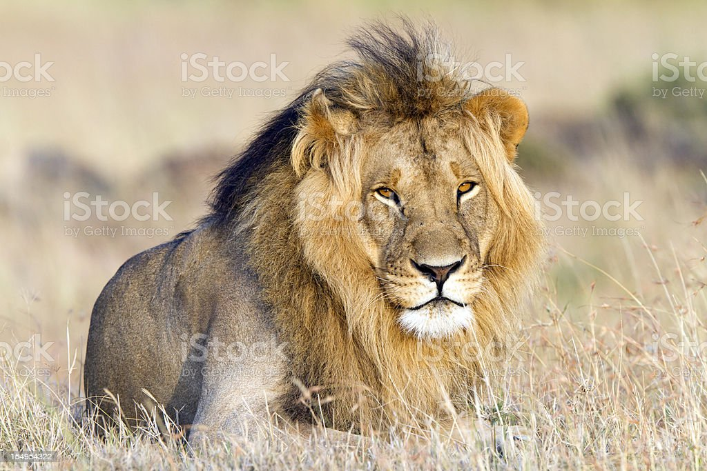 Lion resting, Masai Mara, Kenya stock photo