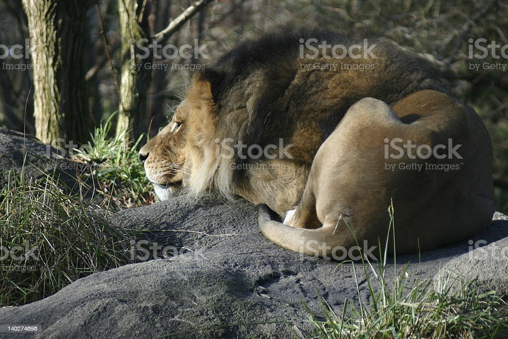 Lion Resting on Rock royalty-free stock photo