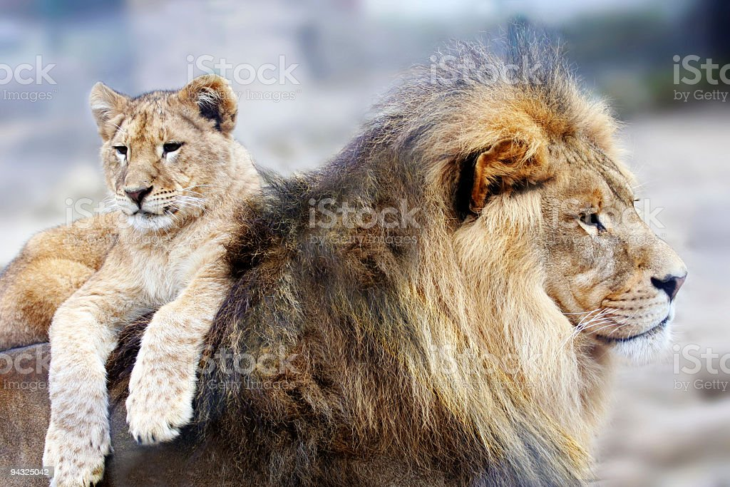 Lion resting with his son royalty-free stock photo