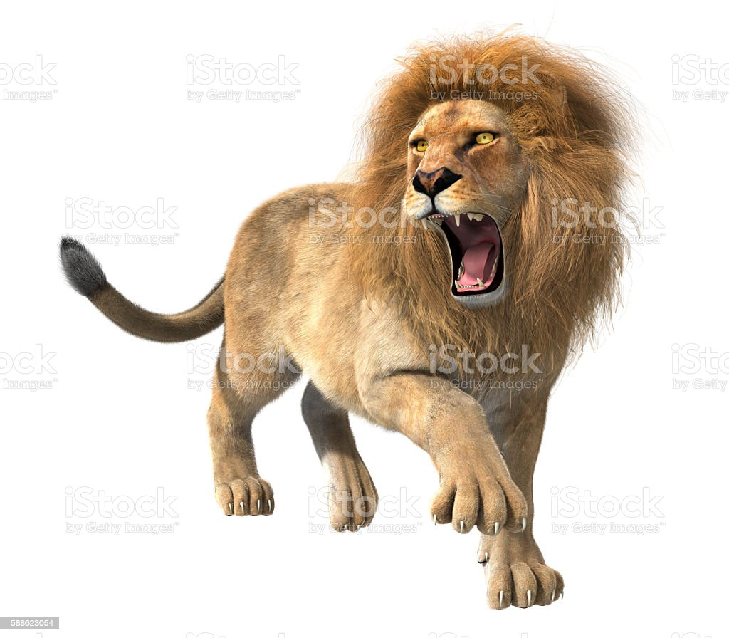Lion roaring isolated stock photo