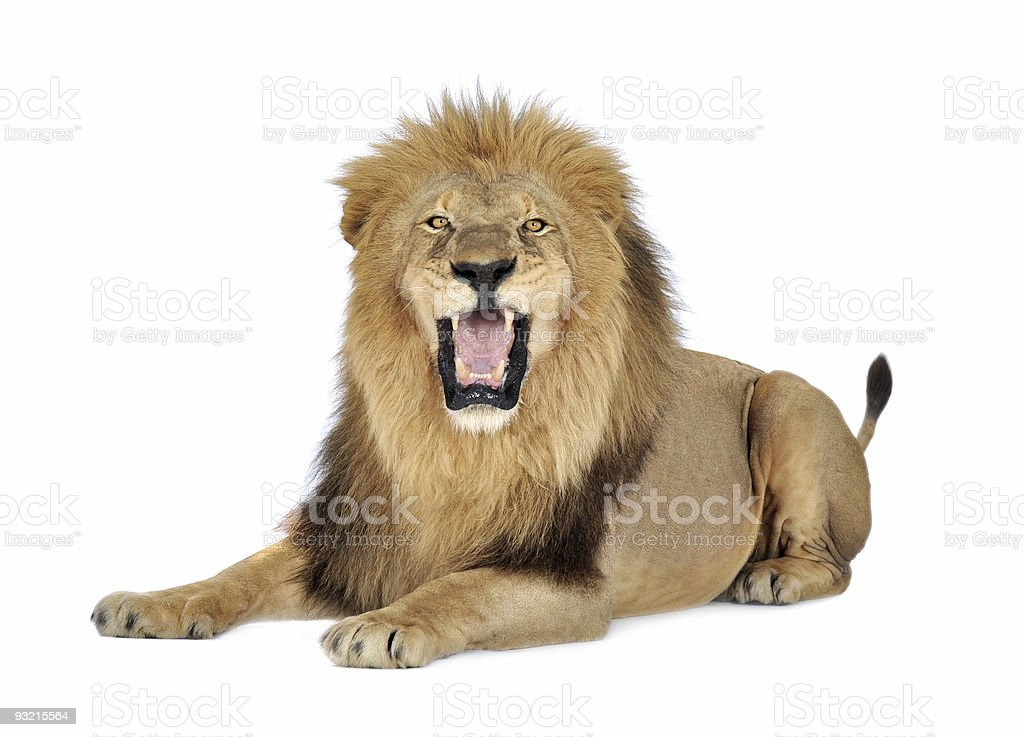 A lion roaring on a white background stock photo